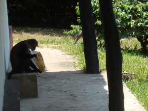 Stealthy monkey and the stolen crackers (he even has a cracker hanging out of his mouth)