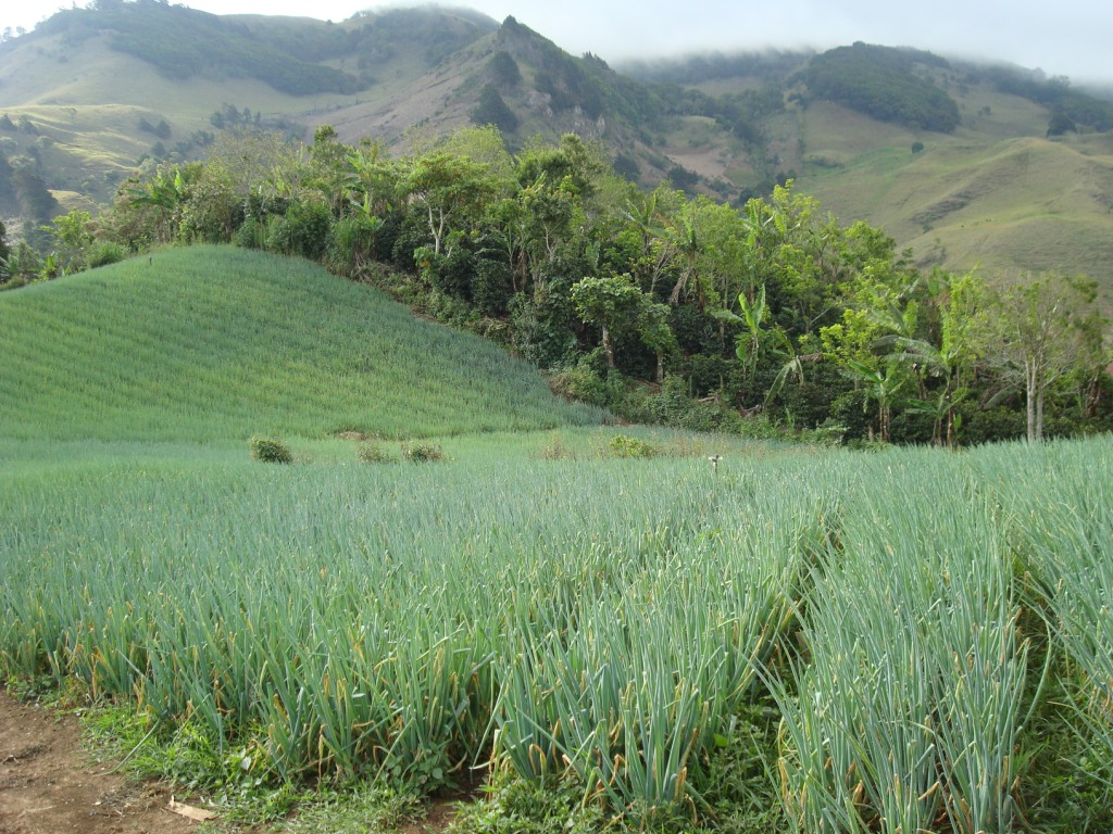 An EDESA borrower's chive fields in beautiful Costa Rica
