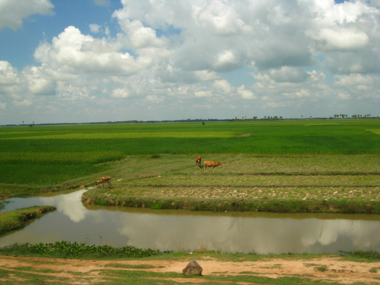 rice fields of green